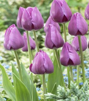 Tulip Negrita