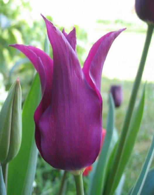 "Bild <a href=""/tulip-purple-dream.html"">Tulip Purple Dream</a>"