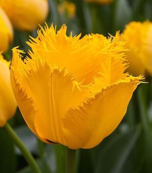 Tulip Crystal Star