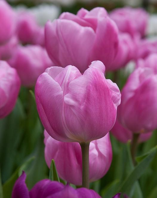 Tulpe Aafke