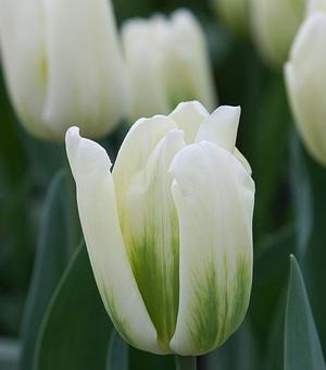 Tulip Green Spirit