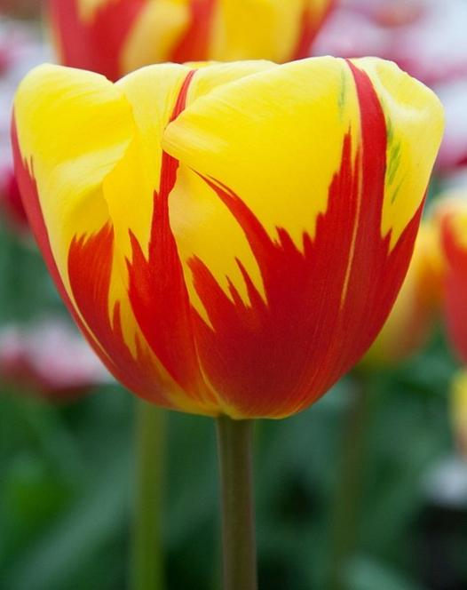 Tulpe Holland Queen