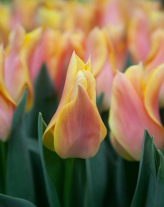Tulpe Marianne