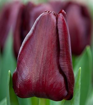 Tulpe Mascara