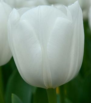 Tulip Royal Virgin