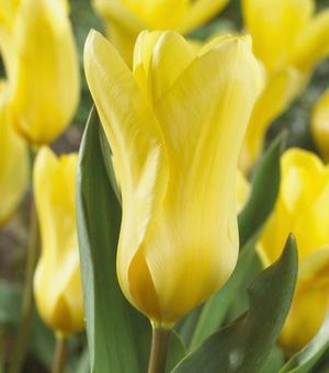 Tulip Candela