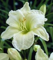 Hemerocallis White Temptation