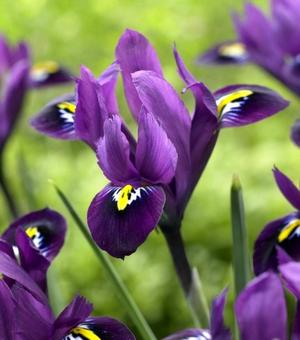 Iris Reticulata Purple Hill