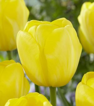 Tulpe Yellow Angel