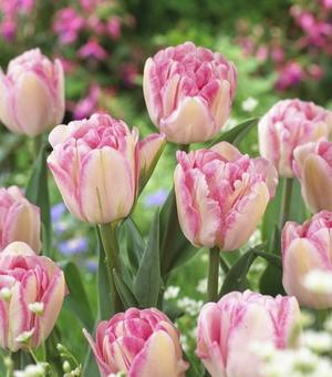 'Rosaroter Traum' Tulpen Kollektion