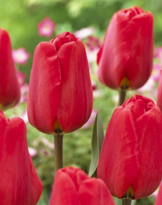 Tulpe Apeldoorn