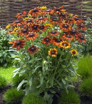 Rudbeckia Summerina Orange