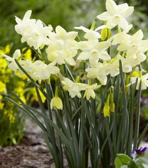 Narcissus Moonlight Sensation