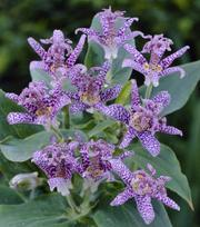 Tricyrtis Purple Beauty