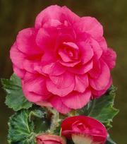 Gefüllte Begonie Rosa
