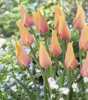 Tulpe Blushing Lady