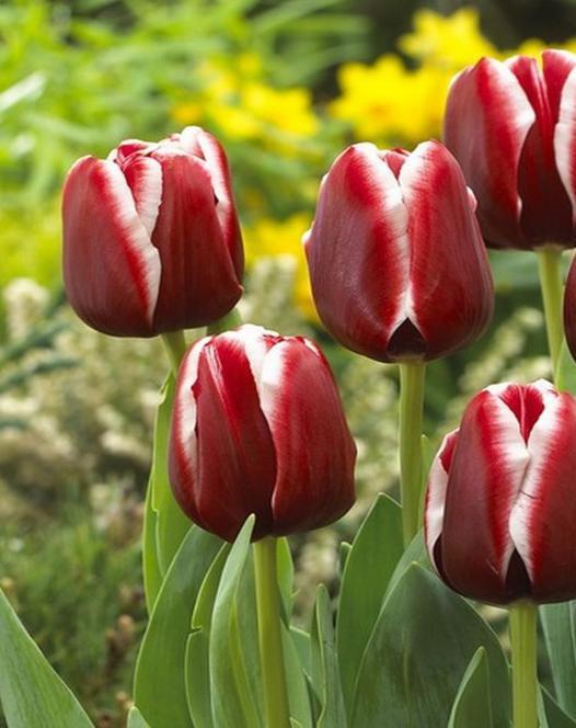 Tulpe Armani