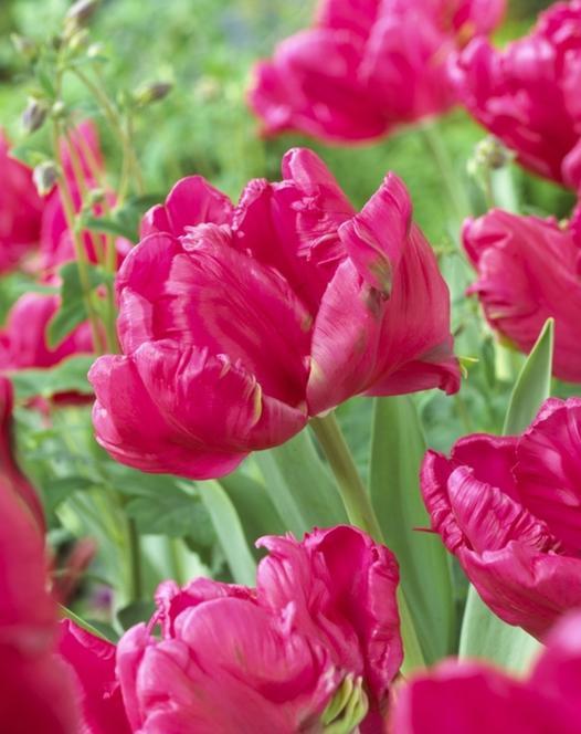 Tulpe Cerise Parrot