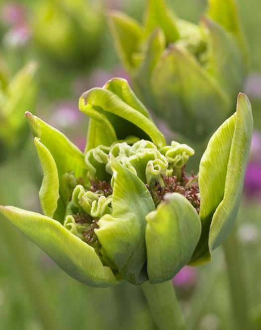 Tulpe Green Bizarre
