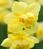 Narzisse Yellow Cheerfulness