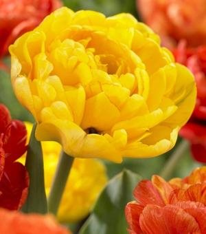 Tulip Yellow Pomponette