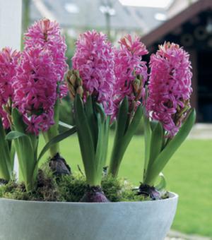 Präparierte Hyazinthe Pink Pearl