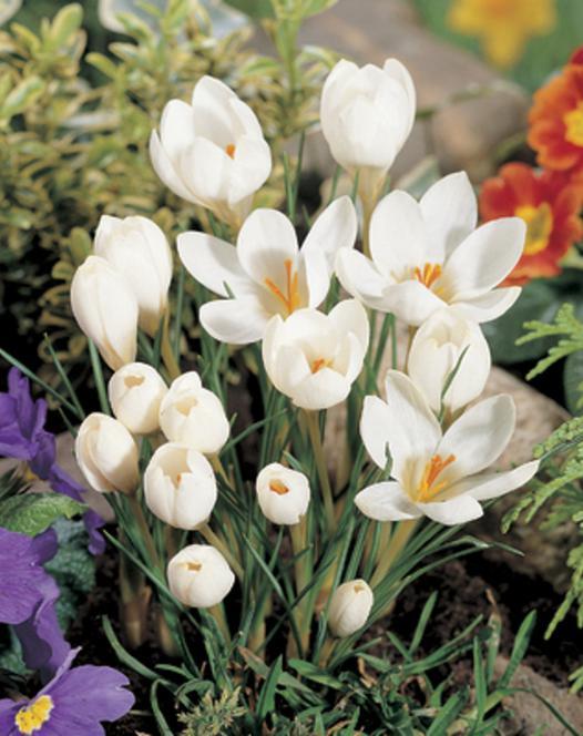 Krokus Chrysanthus Miss Vain