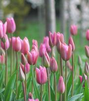 Tulpe Mistress