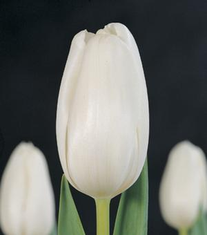 Tulpe White Marvel