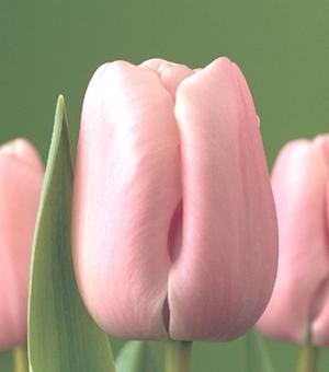 Tulpe Pink Diamond