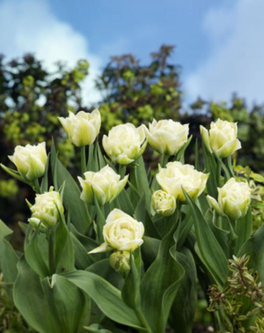 Tulpe Global Desire