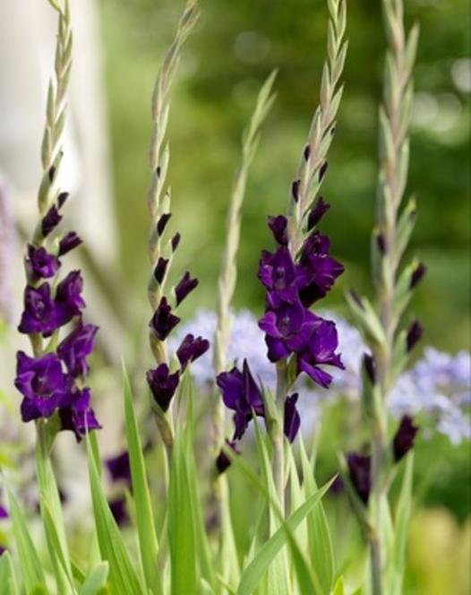 Gladiole Purple Flora