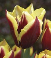 Tulpe Gavota