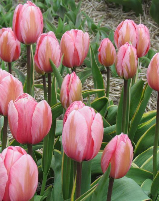 Tulpe Design Impression