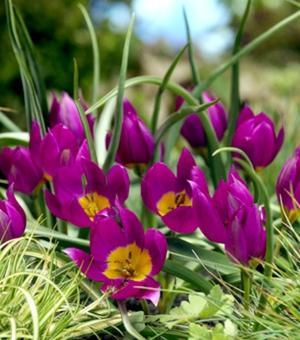 Tulpe Humilus Eastern Star