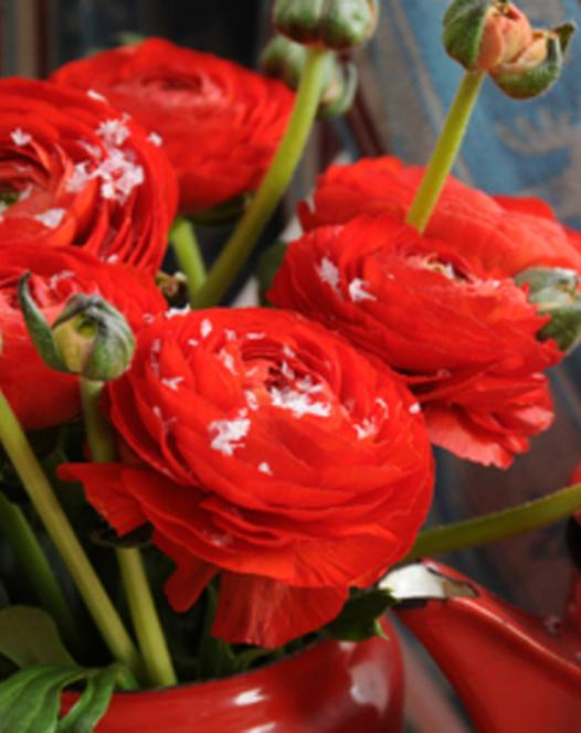 Ranunculus Aviv Red