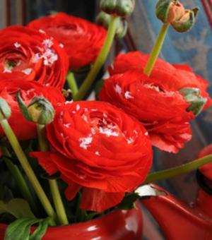 Ranunculus Aviv Rot