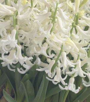 Hyazinthe White Festival