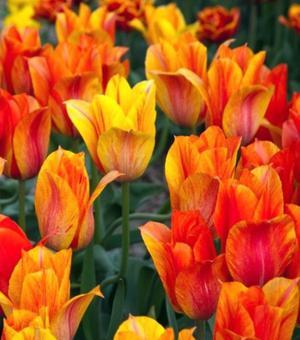 Tulpe El Nino