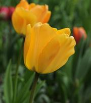 Tulpe Daydream
