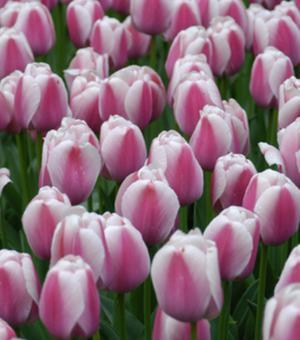 Tulpe Ollioules