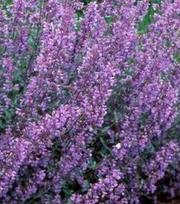 Nepeta Walkers Low