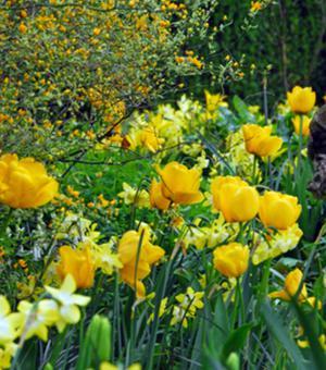 Tulpe Golden Apeldoorn