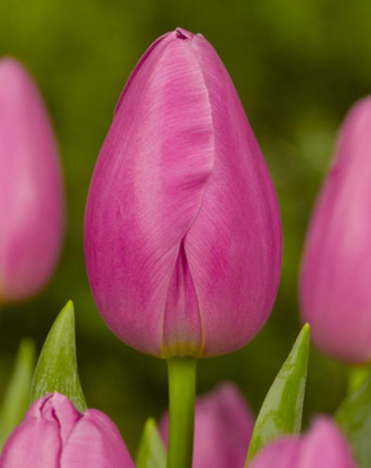 Tulpe Pink Twist