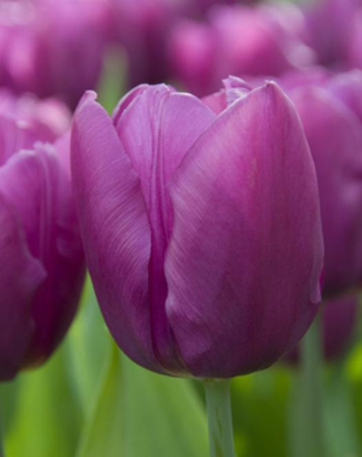 Tulpe Purple Flag