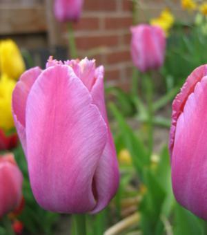 Tulpe Survivor