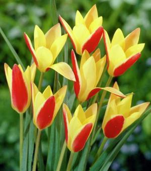Tulip Clusiana Cynthia