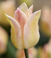 Tulpe Elegant Lady