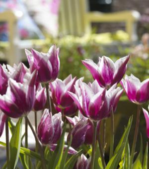 Tulpe Claudia