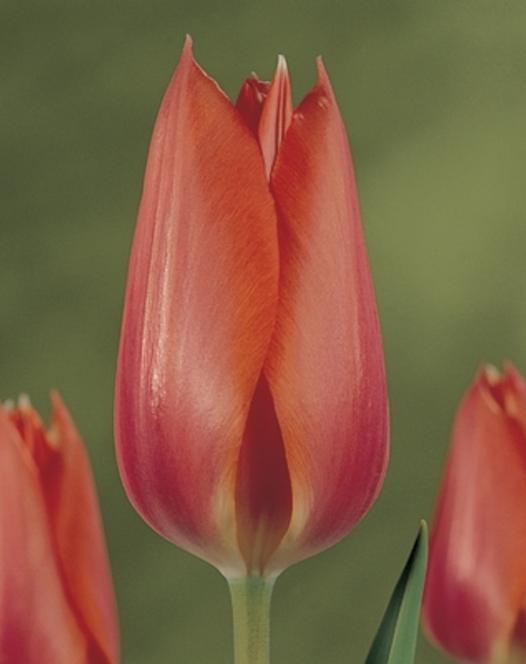 Tulpe Temple of Beauty